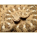 Adult male sidewinder, Yuma Arizona.
