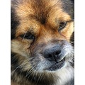 dog germanshepherd pekinese