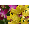 orchid thailand yellow