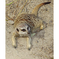 meerkat mongoose animal mammal nature wildlife