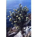 Mediterraneans flowers Coast Alofita Anthyllis barba Jovis