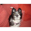 Lottie Batpup dog cute pretty