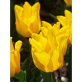 tulip macro flowers yellow