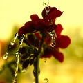 macro water drops flower closeup nature reflection detail colours red keitology