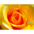rose flower yellow mariamel