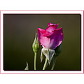 Rose Bud Plant Flower Aloha Oregon