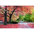 beautiful maple tree