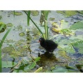 young Moorhen looking for its mother