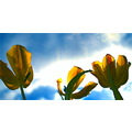 tulips natural light colour blue bright summer flowers vase sky weather fun