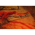 crocodile animals preditors zoo wild