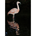 Flamingo reflection bird animal nature wildlife feathers wings