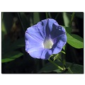 morningglory flower blue
