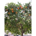 Spain Torremolinos Orange tree nature