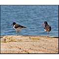 oystercatchers birds