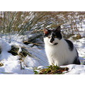 snow cat animal