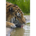 Tiger Marwell Zoo Wildlife Captive Drink