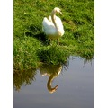 netherlands blokland bird swan reflection nethx blokx birdx swanx