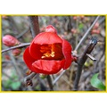 Japanese Quince Chaenomeles japonica