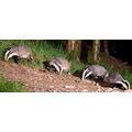 badgers stoodleigh devon devonbadgerwatch animals wildlife