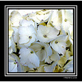 flower chile white nature hortensias