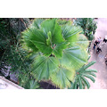 palm tree green top view
