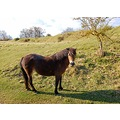 danebury hillfort hampshire pony
