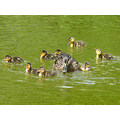 A duck decided to nest in the woods at the pond near work. Today she brought the new hatchlings o...