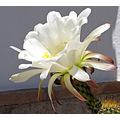 Cactus Flower white Alora Andalucia Spain home