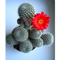 my cactus got a flower))