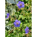 Derbyshire Meadow Cranesbill