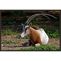 A Scimitar Oryx