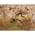 Lunch time... Ibex