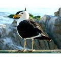 sea birds nature concon chile gull