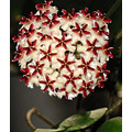 This is Hoya erythrostemma