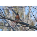 The North American robin is a sure sign of spring for Canadians