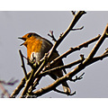 Robin Wildlife Bird Nature