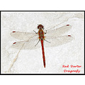 Red Darter Dragonfly