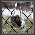 While walking with my dog (and camera) today, I saw this spoon wrapped around a chain mail fence...