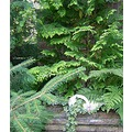 holland garden ferns pine