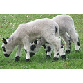 lambs white black