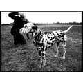 Dog Dalmation Spotty Photograph