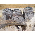 Tawny Frogmouths Birds Animals