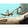 insect prayingmantis nature