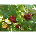 sour cherry red leave