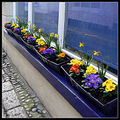 window box daffodil flower blue white mevagissey primrose