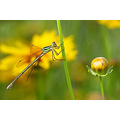summer damselfly dragonfly green yellow nature macro