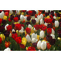 tulips harlow carr harrogate earthfriday