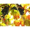autumn leaves red green grape