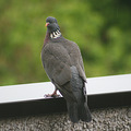 pigeon rain luxembourg