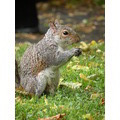 Squirrel Squirrell UK animals zwierz281ta wiewirka